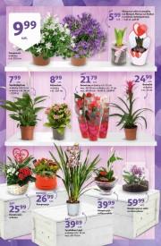 Kwiaty Doniczkowe W Auchanie Promocja Cena