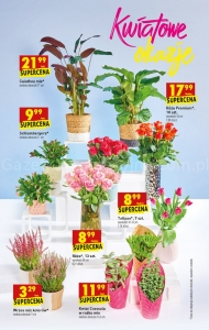Kwiaty Doniczkowe W Biedronce Promocja Cena